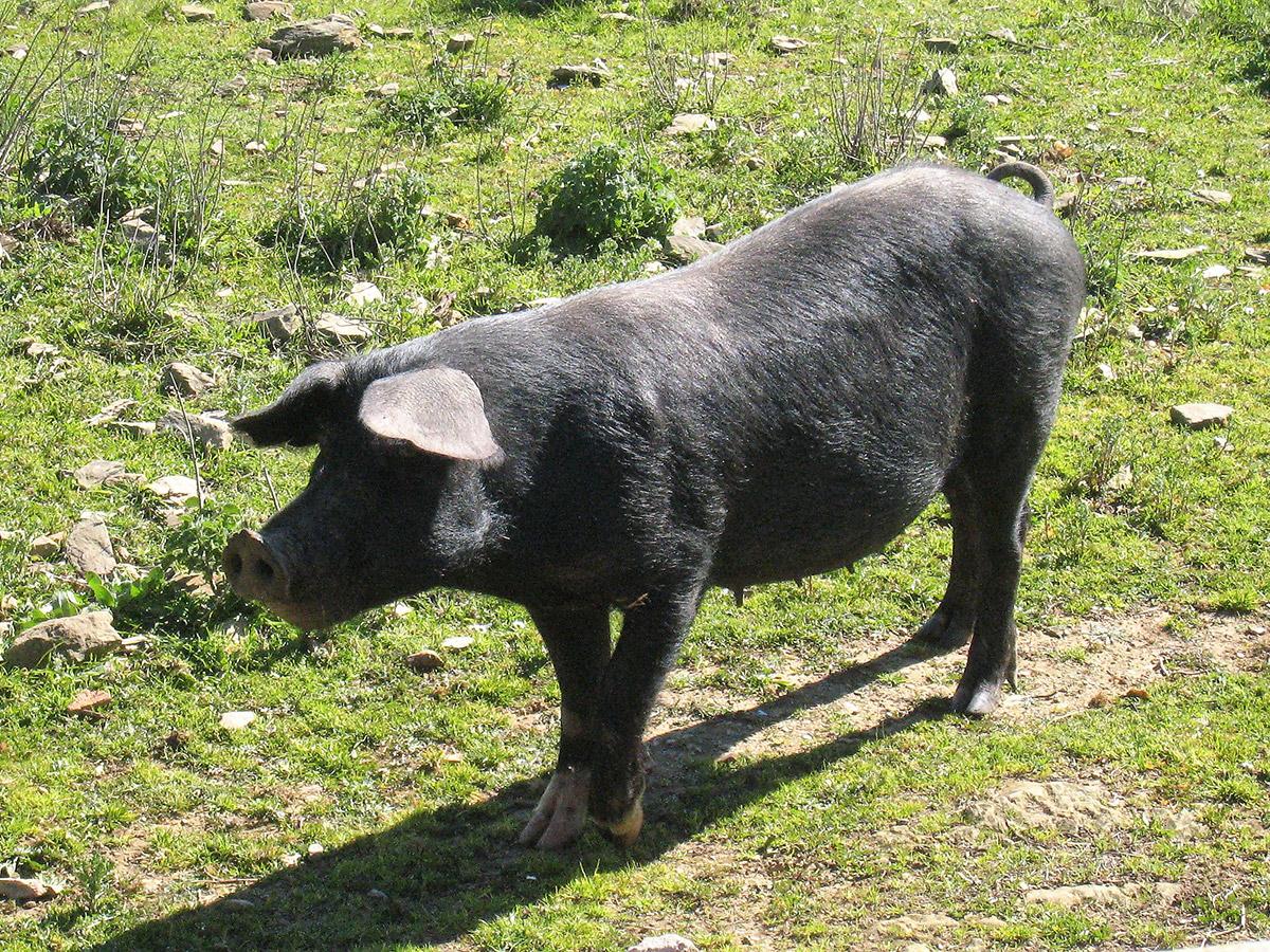 Het zwarte varken